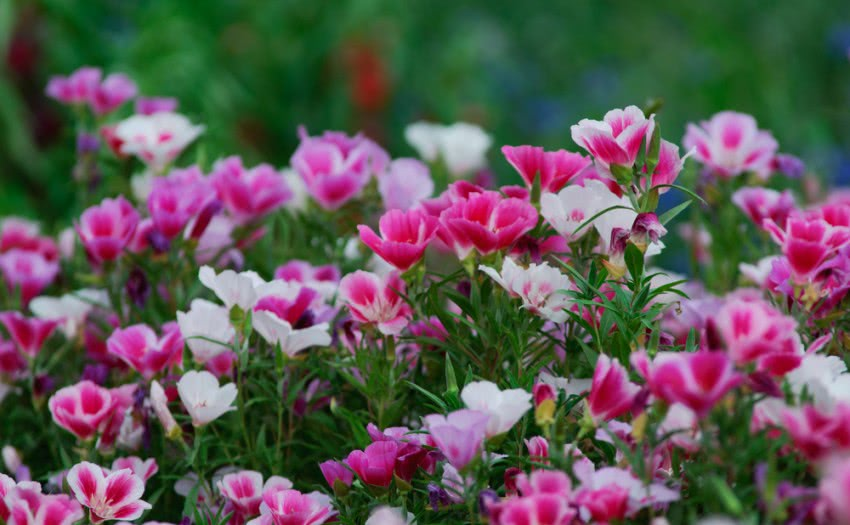 Growing Clarkia Read About Clarkia Flowering Plant And Its Care