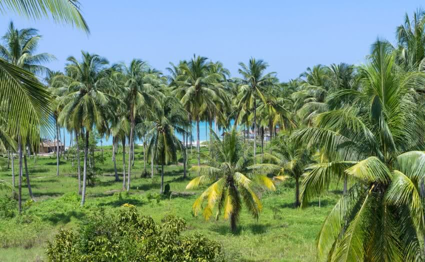coconut palm, coconut diseases