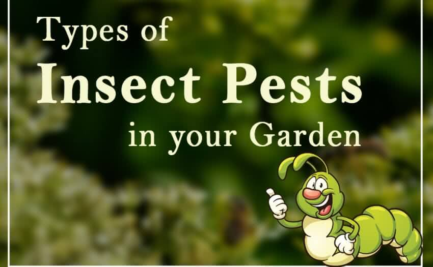 Types of insect pests