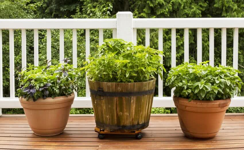 basil plants growing in pots