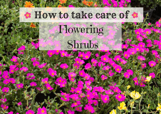top flowering shrubs