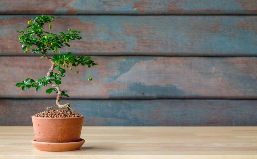 indoor bonsai tree