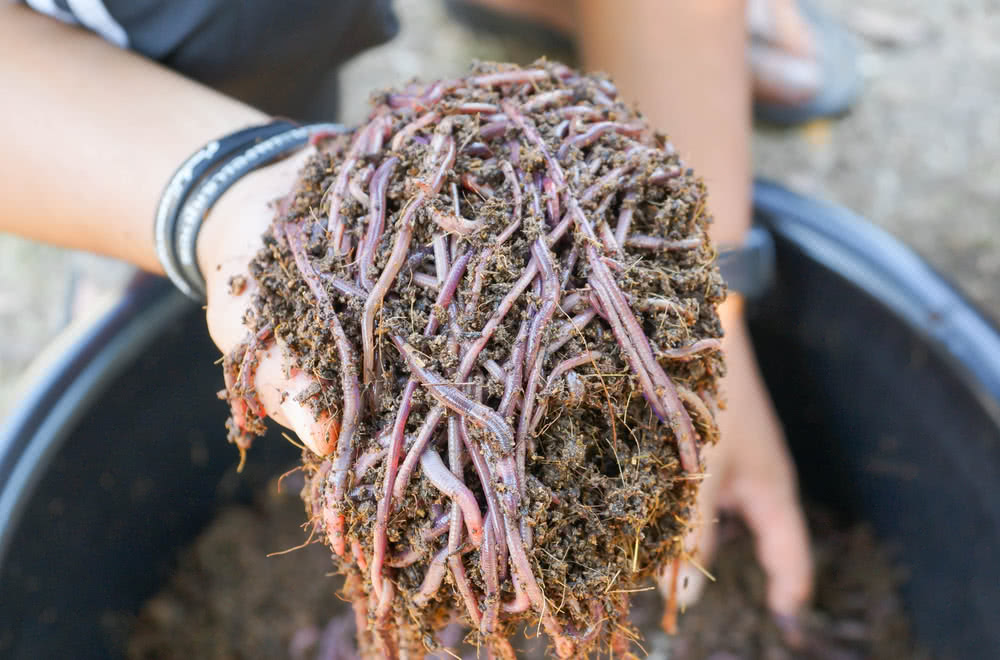 How To Use Vermicompost Vermicompost Preparation