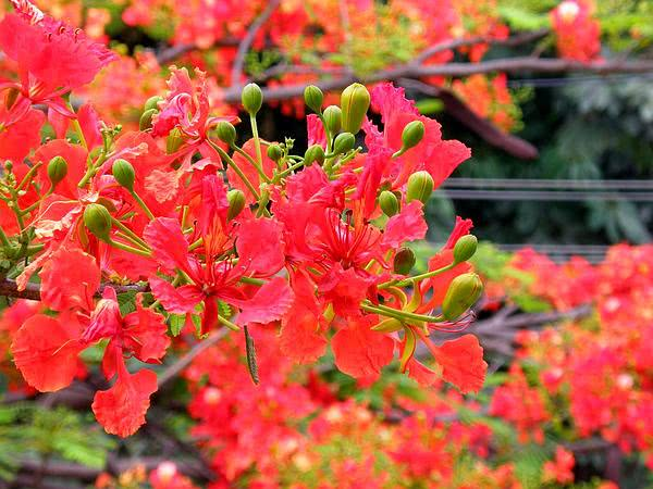 gulmohar tree in india