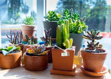 cactus & succulents as feng shui plants