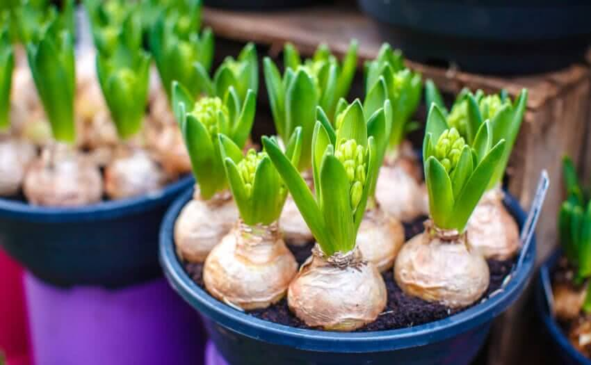 Growing Plants from Bulbs