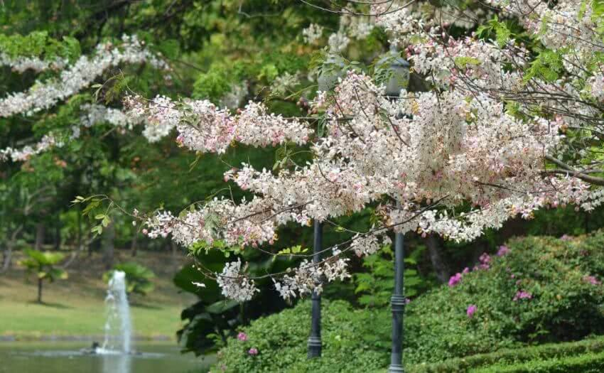 small flowering trees