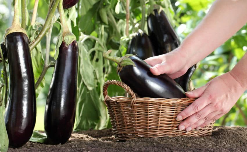 Harvesting eggplant or brinjal from garden