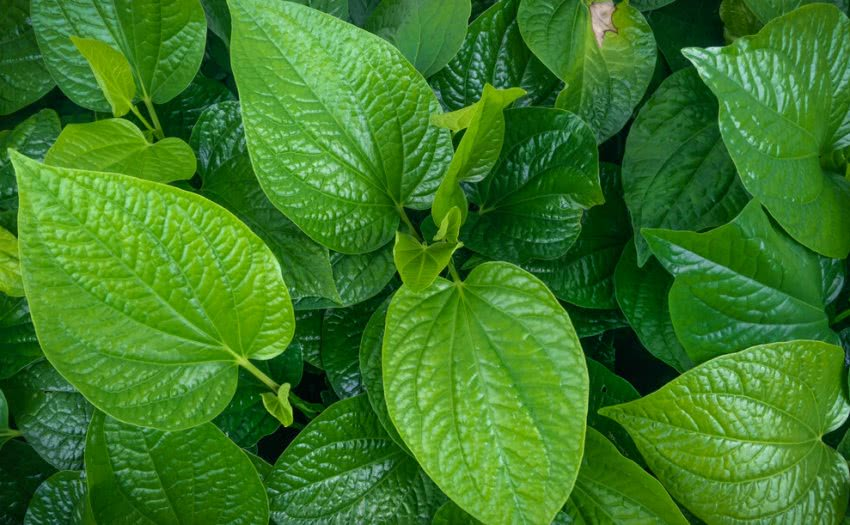 how to grow betel leaf, paan