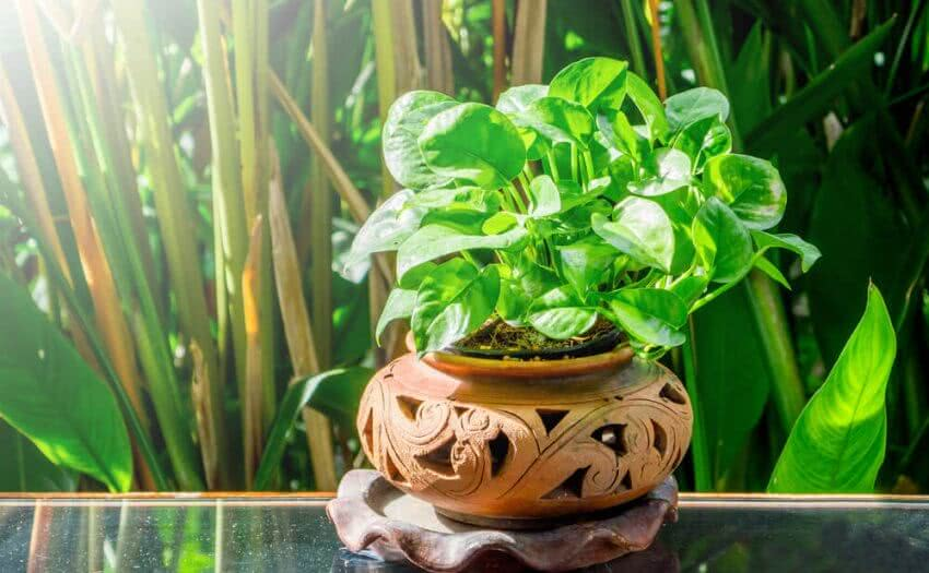 best indoor vine plants