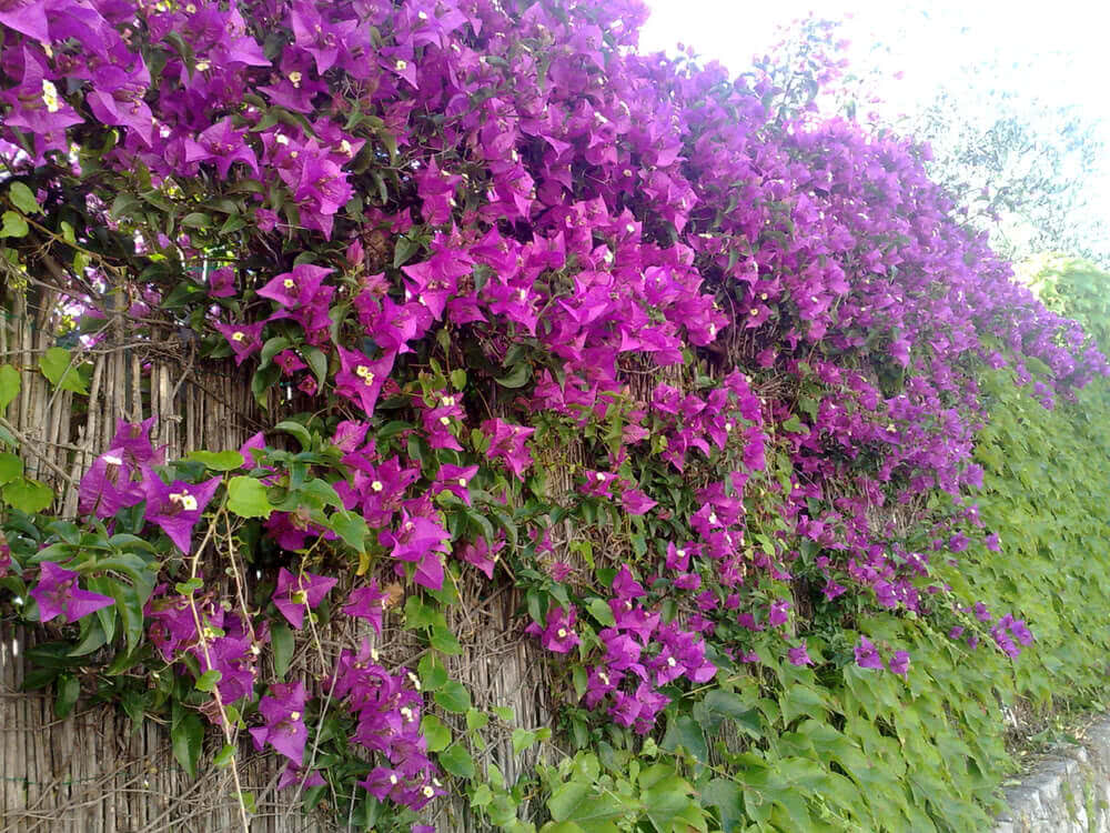 Top 10 Hedge Plants In India For Live Fencing Boundary