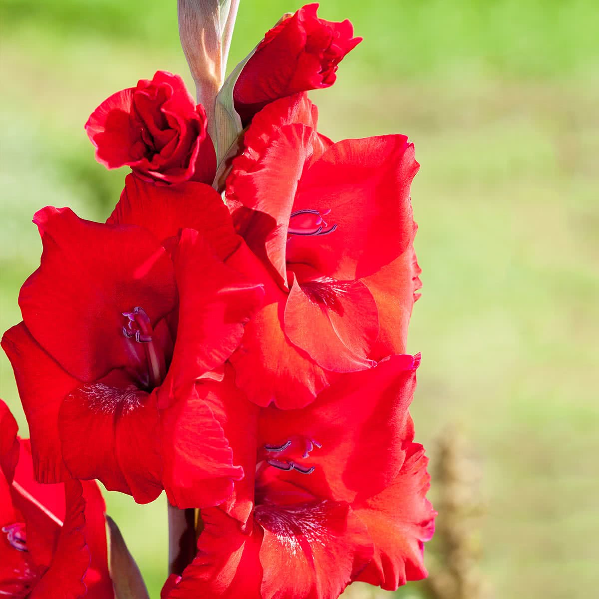 Red Majesty Gladiolus Bulbs Buy Red Majesty Gladiolus