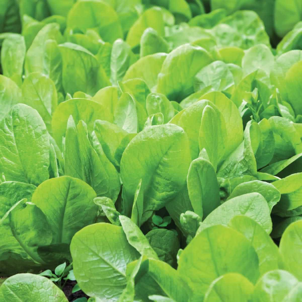 Economy Pack 300 Seeds Spinach Giant Winter Just Seed