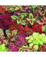 Coleus Mix Seeds