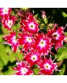 Star Phlox Mix Seeds