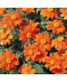 Tithonia Flower Seeds