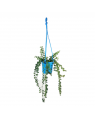 Millionaire Heart Green Plant with Blue Color Hanging Pot