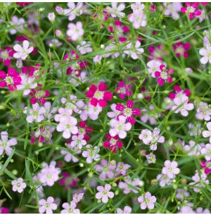 Gypsophila Flower Seeds