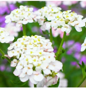 Candytuft Flower Seeds
