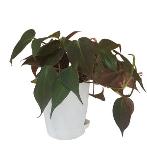 Philodendron Oxycardium Black With Self Watering Pot