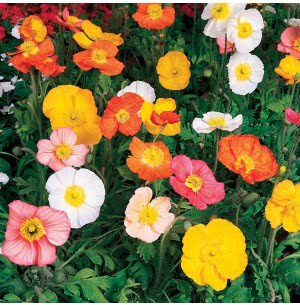 Poppy Mix Seeds
