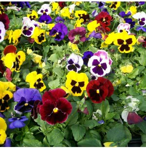Pansy Mix Seeds