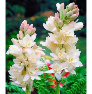 Tuberose Double Flower Bulbs