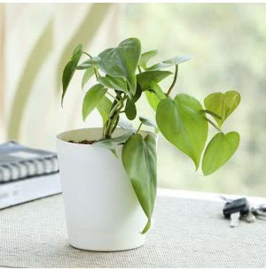 Philodendron Oxycardium Green Plant With Self Watering Pot