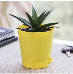 Aloe Vera Mini Plant With Self Watering Pot