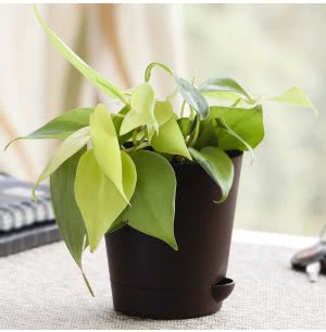Philodendron Oxycardium Golden Plant With Self Watering Pot