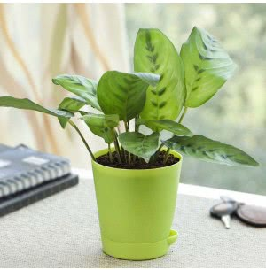 Calathea Faux Green With Self Watering Pot