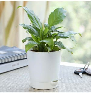Spathiphyllum Viscount (Peace Lily) Plant With Self Watering Pot
