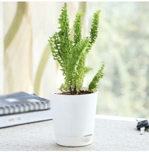 Fern Emina With Self Watering Pot