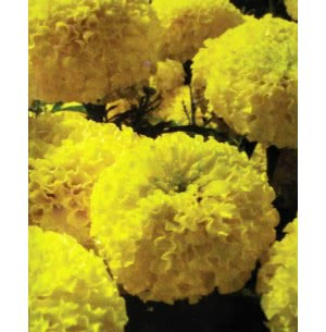 Hybrid Marigold Seeds- Activa Yellow