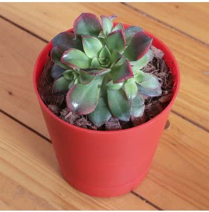 Cactus & Succulents: Buy Cactus Online India | Succulent Plants for Sale