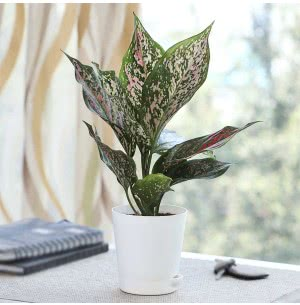 Aglaonema Pink Beauty Plant