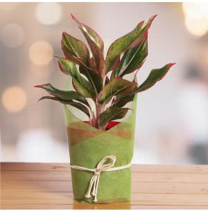 Aglaonema Red With Self Watering Pot
