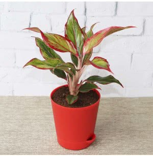Aglaonema Red Plant With Self Watering Pot
