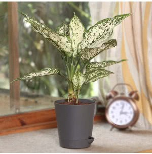 Aglaonema White Plant With Self Watering Pot