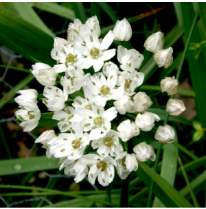 Allium Cowanii Bulbs