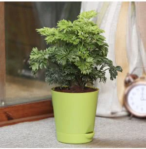 Aralia Golden With Self Watering Pot