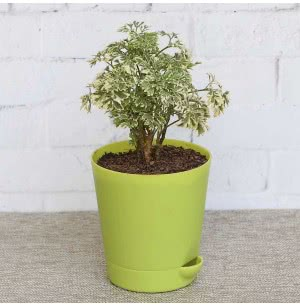 Aralia Variegated Mini With Self Watering Pot