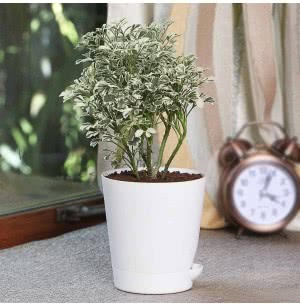 Aralia Variegated White Mini Plant With Self Watering Pot