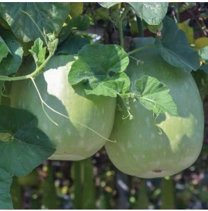 Ash Gourd Vegetable Seeds