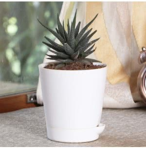 Haworthia Attenuata Plant With Self Watering Pot