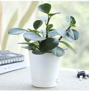 Peperomia Green Plant With Self Watering Pot