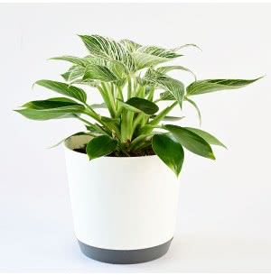 Philodendron Birkin Plant With 7.5 Inch Self Watering Pot