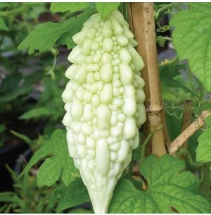 Bittergourd Vegetable (White) Seeds