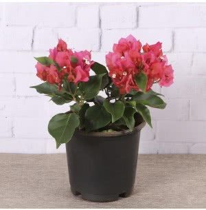 Bougainvillea Red Plant