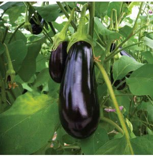 Brinjal Banarshi Giant Vegetable Seeds